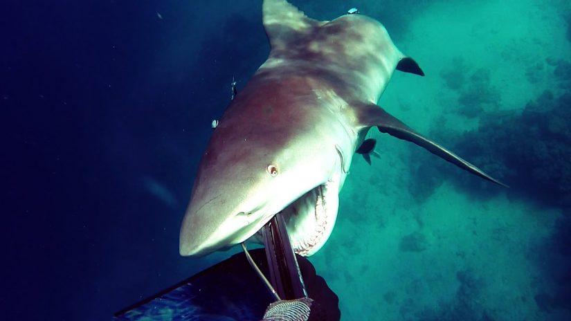 Shark Attack - Bullshark Attacks Spearfisherman | aquasport.tv
