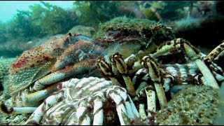 SPIDER CRAB MOLTING ITS SHELL !!! | aquasport.tv