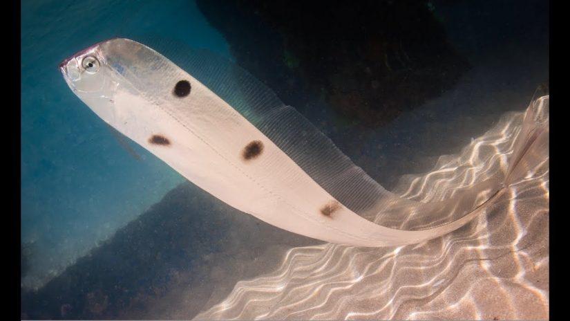 EXTREMELY RARE TRACHIPTERUS trachypterus Dealfish / Ribbonfish Melbourne  16 October 2017 | aquasport.tv