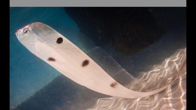 RARE  Trachipterus trachypterus fish Australia | aquasport.tv