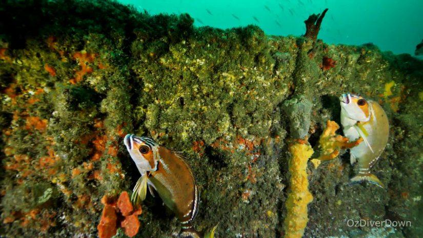 Wreck of the SS Oakland | aquasport.tv