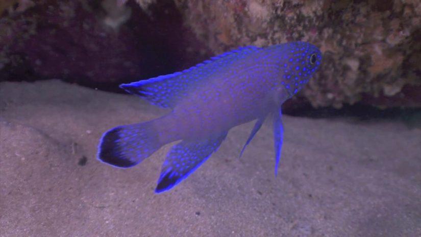 Blue Devil scenarios | aquasport.tv