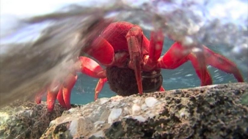 Red Crab egg release | aquasport.tv
