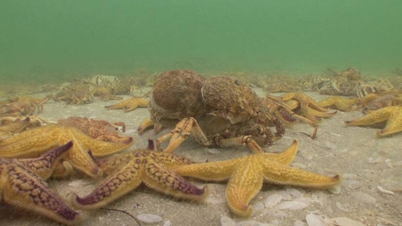Spider Crabs V North Pacific Starfish