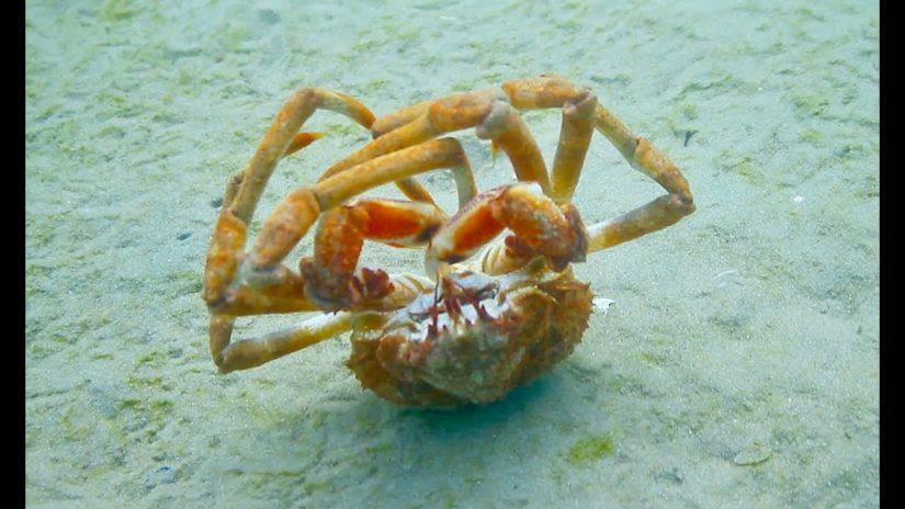 SOMEONE CALL THIS CRAB A TAXI Crazy Spider Crab Backrolls 20 times