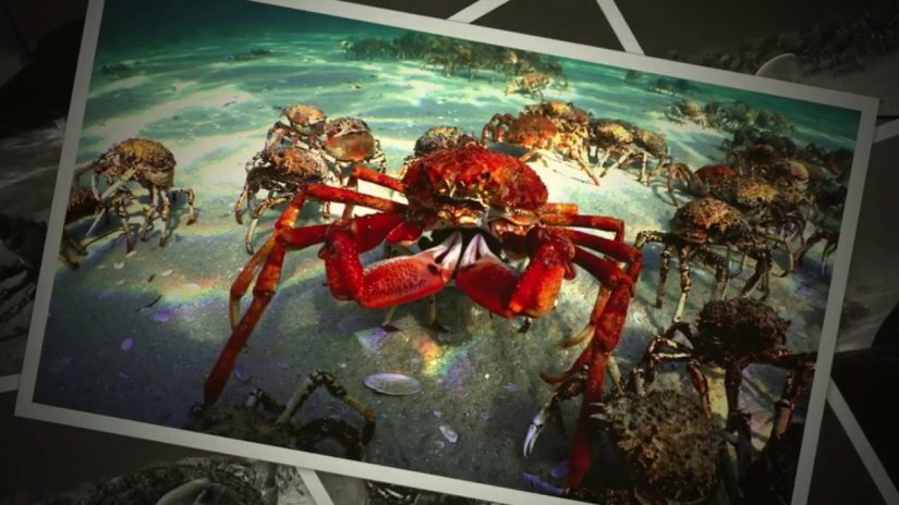 Spider Crab Photo scenarios.