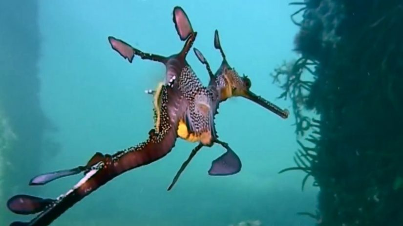 Weedy Sea Dragons seen with problems around Flinders Jetty